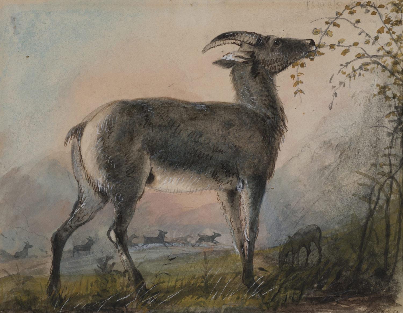 Female Argali or Mountain Sheep