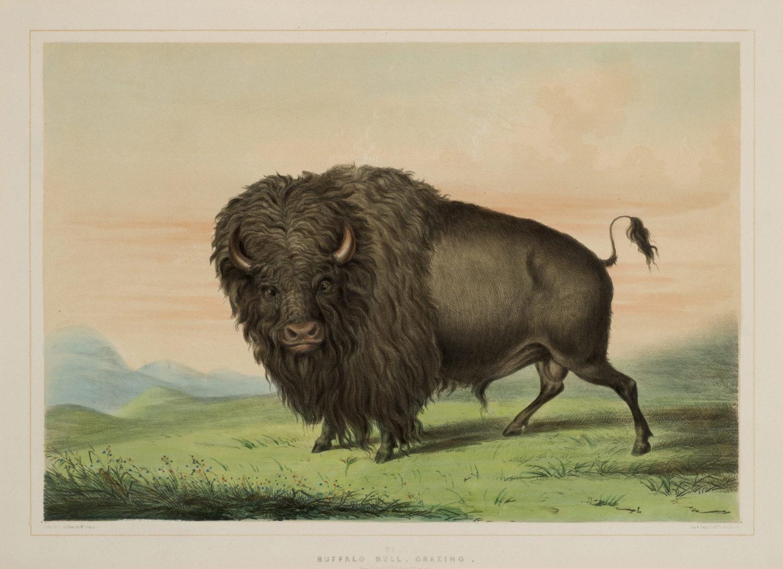 Buffalo Bull Grazing