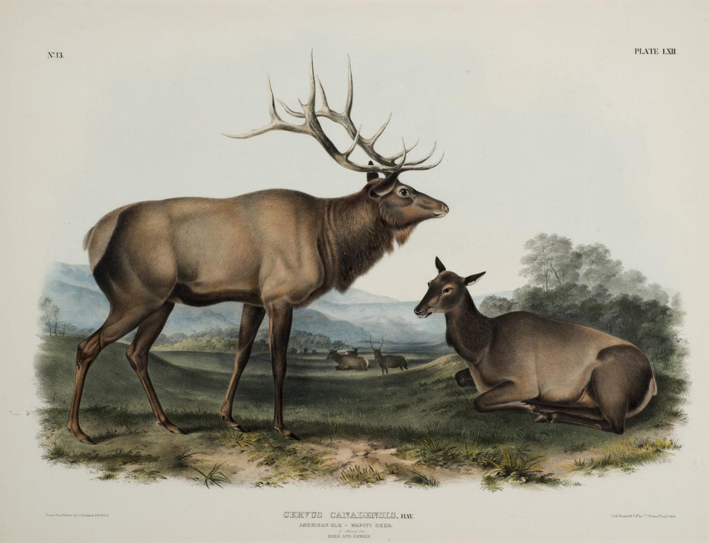 American Elk – Wapiti Deer